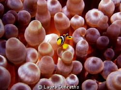 Juvenile Red Sea anemonefish protecting its big anemone by Laura Dinraths